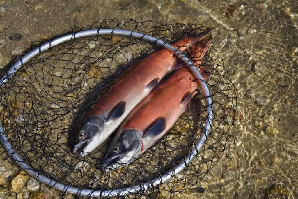 2 fresh caught kokanee salmon laying in a fishing net